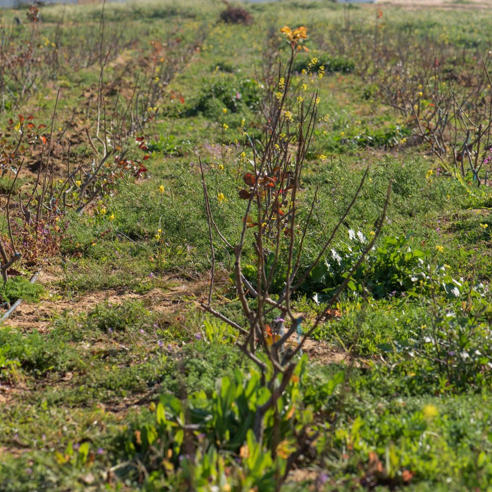 Cultivar pistachos, una siembra en expansión