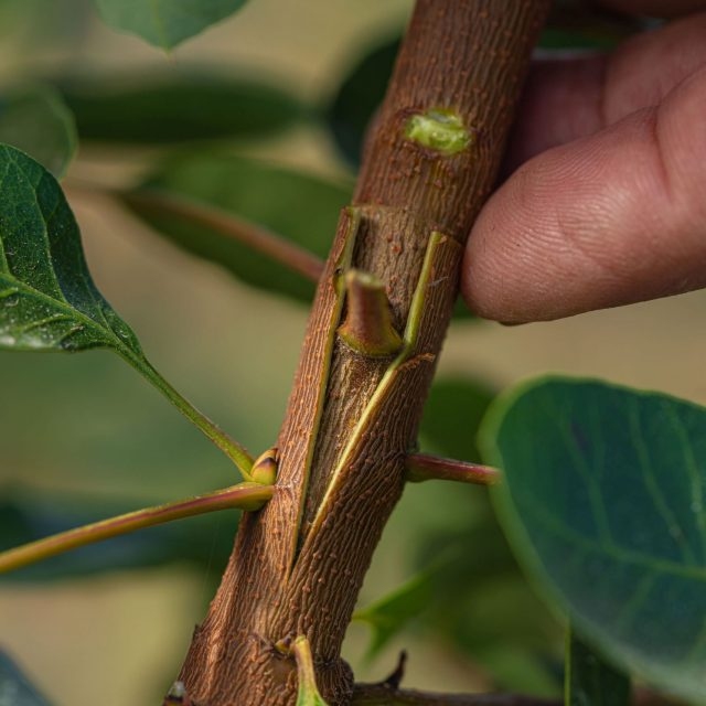 Tiempo de injertos en los pistacheros