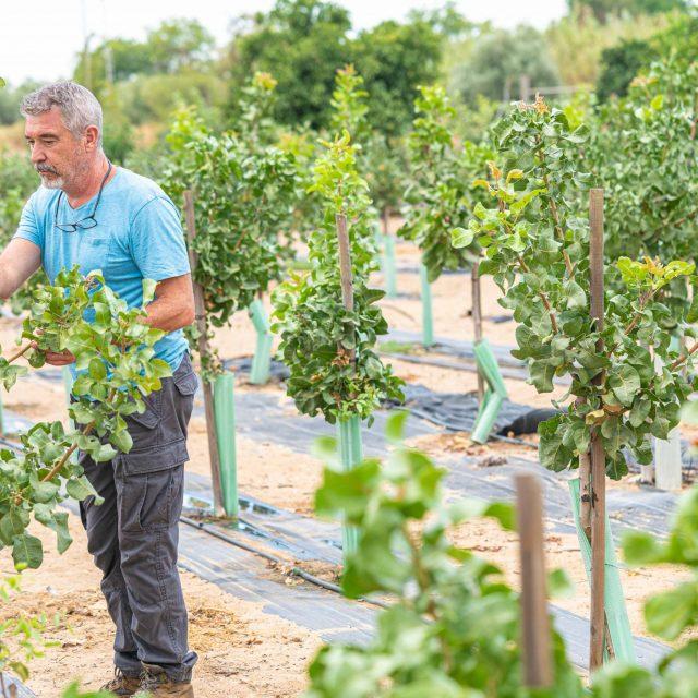 ¿Cómo es el árbol del pistacho? Origen y características
