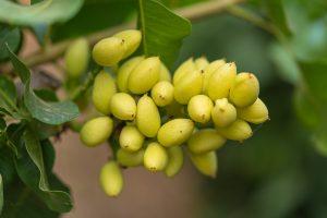 ¿Cómo es el árbol del pistacho?